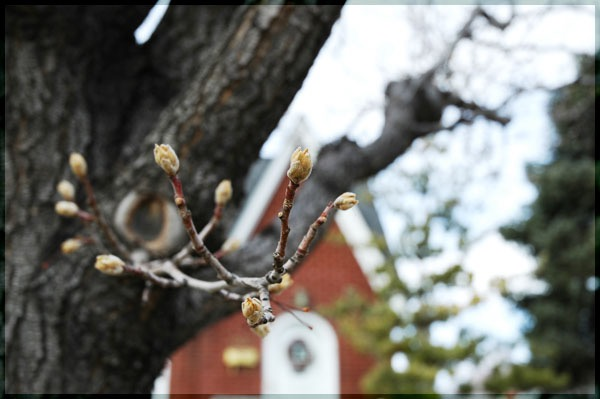 Spring Buds. Salt Lake City, Utah -- Copyright CrazyUs.com