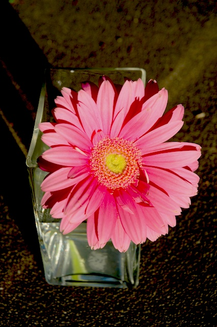 Zeke's Pink Gerber Daisy, Sugarhouse, Utah, July, 2006