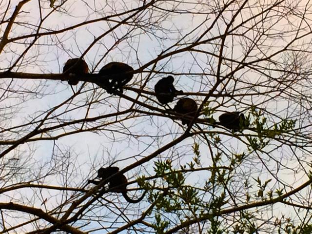 Howler Monkeys Andaz Papagayo